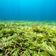 Seegras, die Hoffnung für den Klimaschutz
