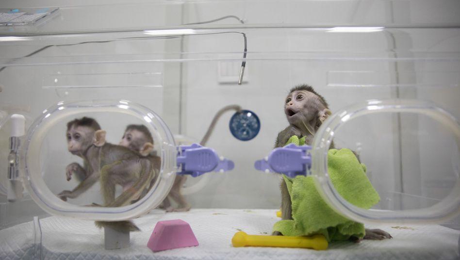 Vermeintlich geklonte Makaken in China