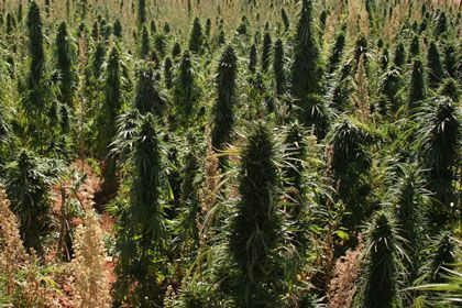 Marihuanapflanzen (Archivbild): Feld vom Orbit aus entdeckt