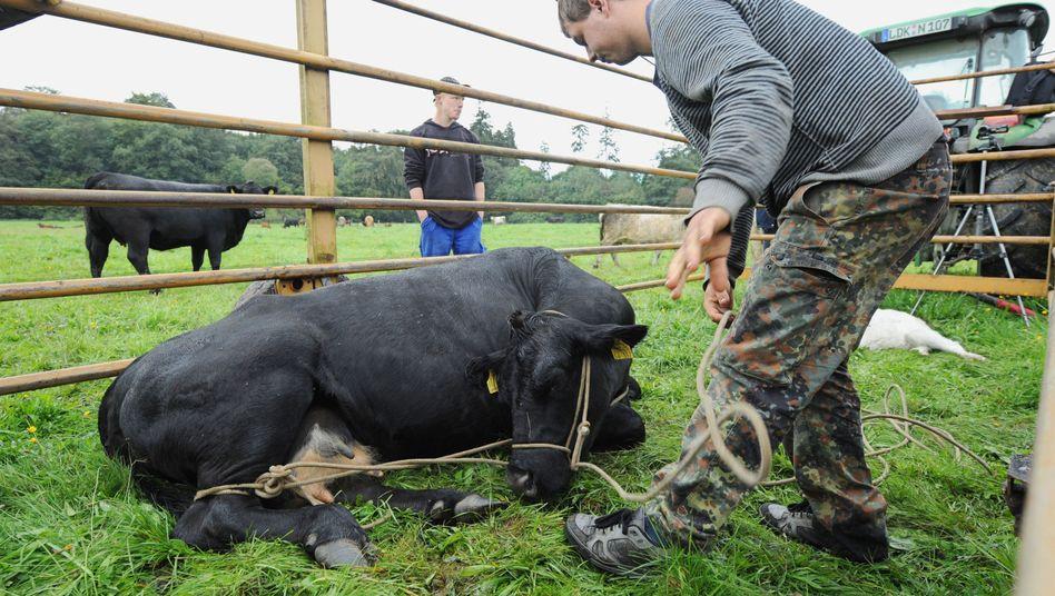 """Kuh """"Verona"""" (Archiv): Das Tier lebt mittlerweile auf einem Gnadenhof"""
