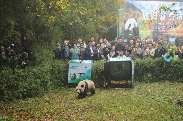 Panda auf dem Weg in die Freiheit