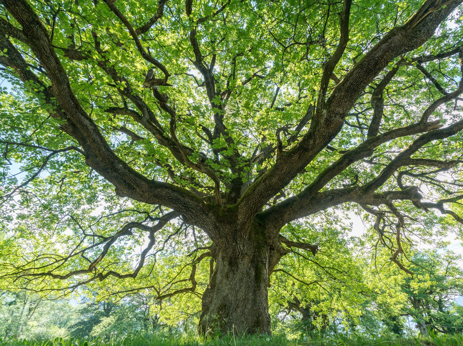majestic old oak giving shade to a spring meadow