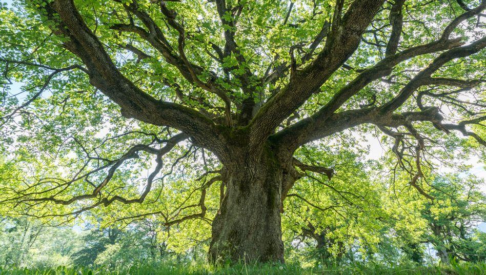 """Eine majestätische alte Eiche spendet Schatten: """"Über die letzten 100 Jahre sind die alten Wälder global deutlich zurückgegangen"""""""