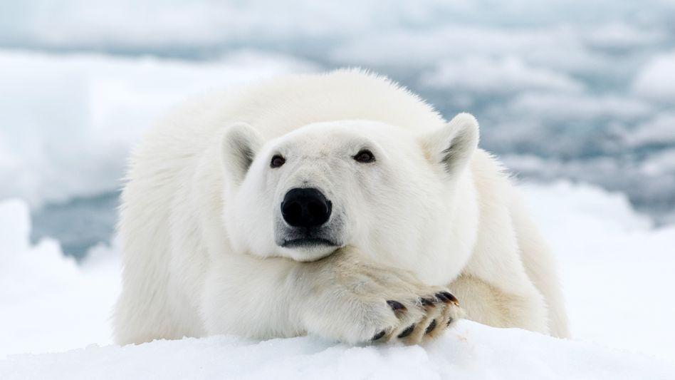 Eisbär (Symbolbild)