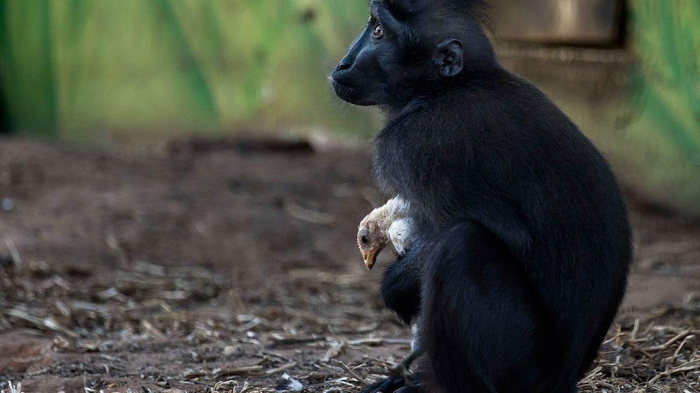 Tierische Adoption: Affenliebe