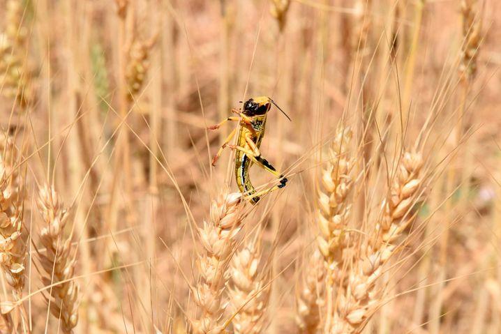 Heuschrecke auf einem Getreidehalm in Pakistan: Die Tiere haben sich bereits vor der Monsunzeit stark verbreitet