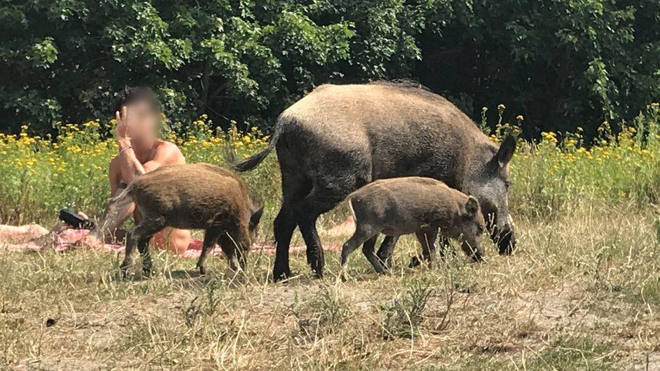 Wildschweine auf der Badewiese am Teufelssee