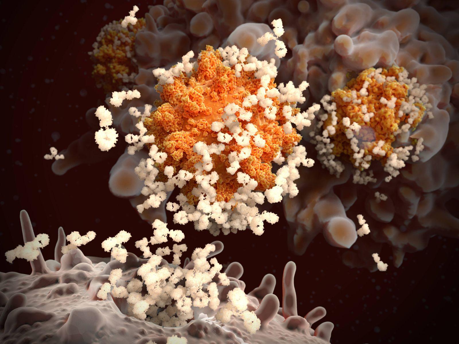 Antibodies responding to covid-19 coronavirus, illustration Illustration of antibodies (cream) responding to an infectio