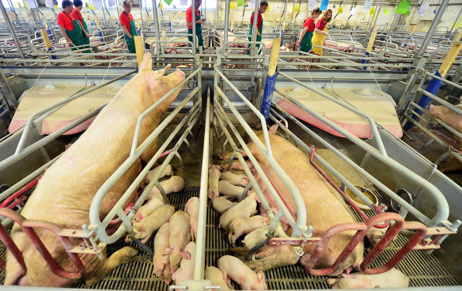 Schweinezuchtbetrieb in Thüringen