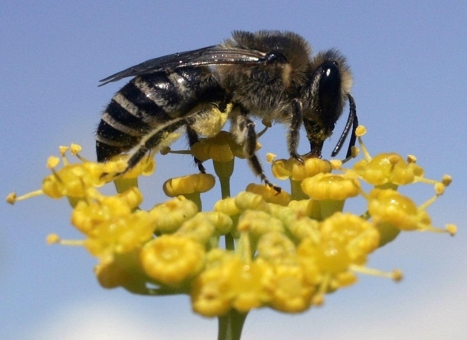 Biene / Honigbiene