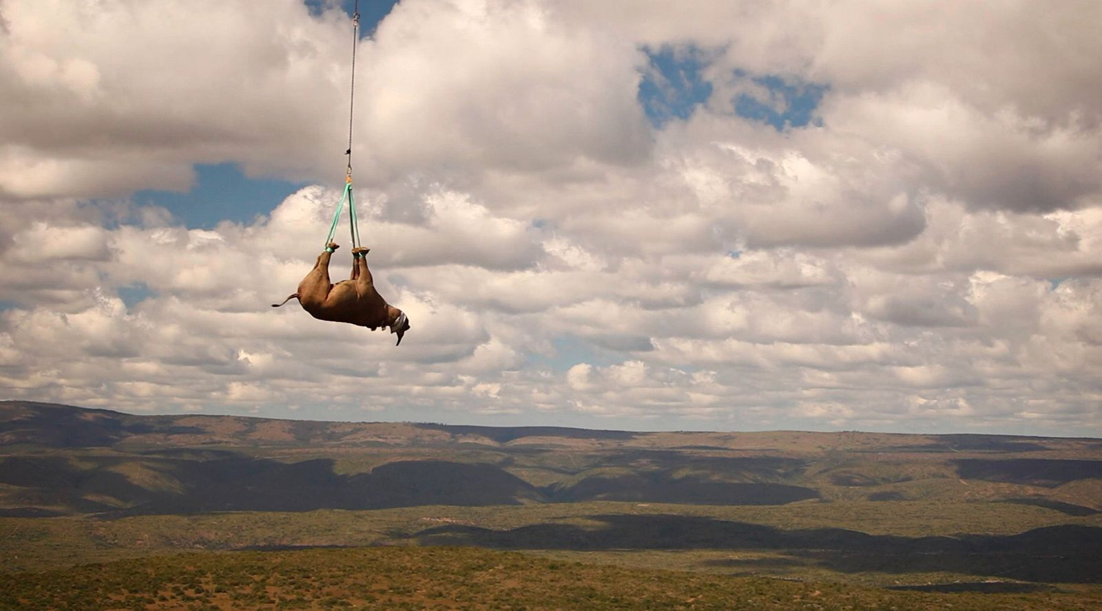Nov. 03, 2011 - Eastern Cape, South Africa - Black rhino being transported by helicopter to an await