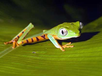 Kermit stand Pate: Beliebter Darsteller im Amphibientheater (Grüner Makifrosch)