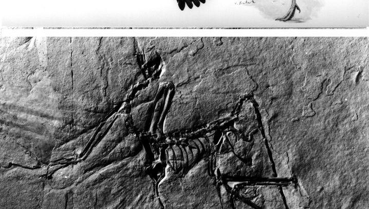 Urzeitliches Federkleid: Archaeopteryx auf Brautschau
