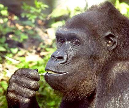 Gorilla-Intelligenz: Handzeichen zum Striptease?