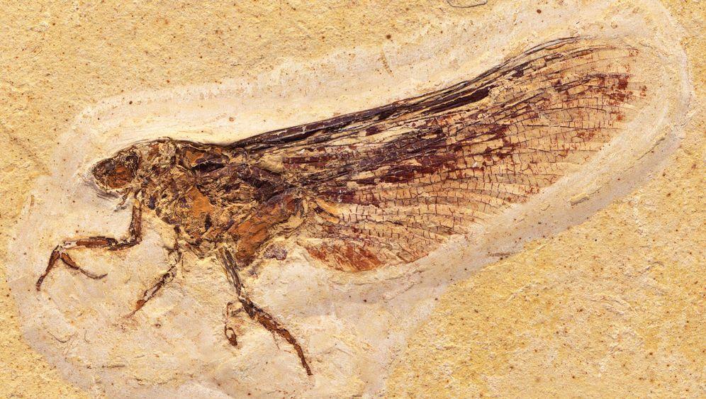 Kreidezeit-Insekt: Libellen-Eintagsfliege mit Gottesanbeterinnen-Charme