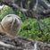 Forscher rätseln über Aal in Robben-Nase