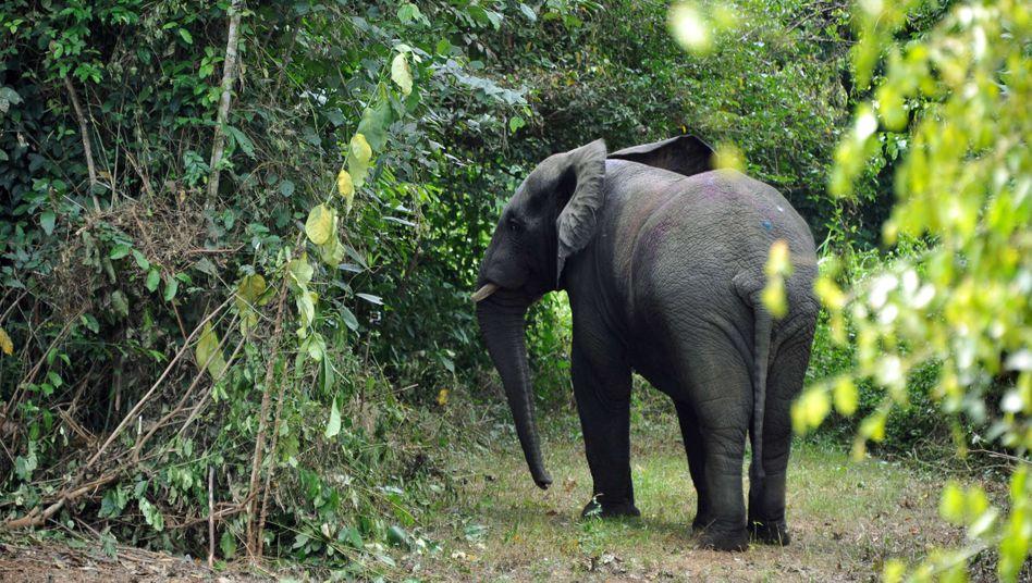 Elefant in Westafrika: Die Region hat sich zu einem wichtigen Knotenpunkt im illegalen Wildtierhandel entwickelt