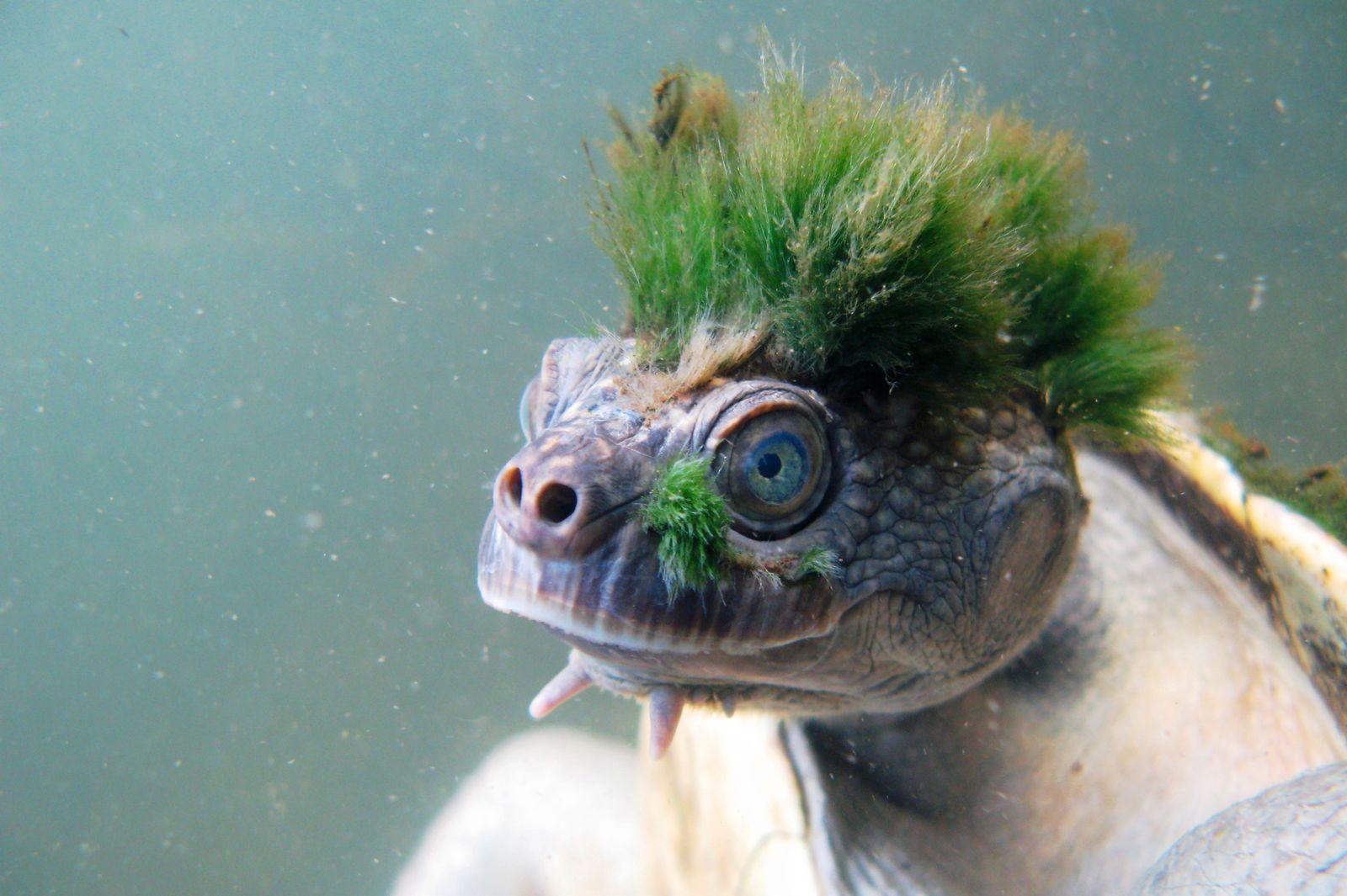 EINMALIGE VERWENDUNG Mary River Schildkröte/ Aussterben bedroht