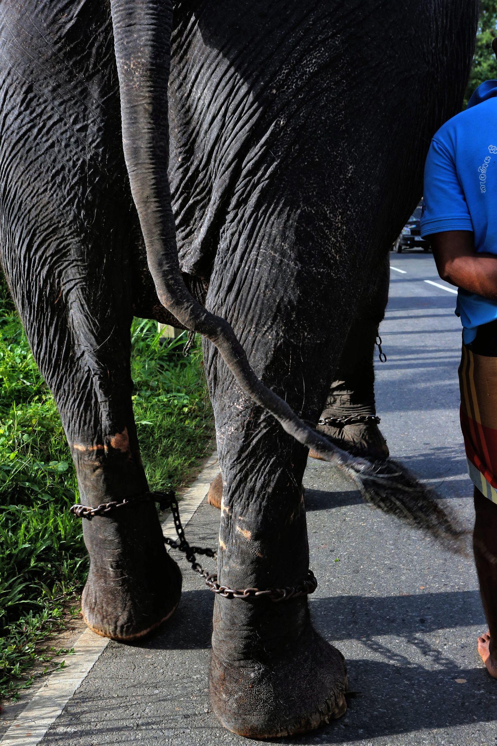 Sri Lankas Elefanten sollen weniger arbeiten müssen