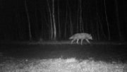 Nachruf auf einen berüchtigten Wolf