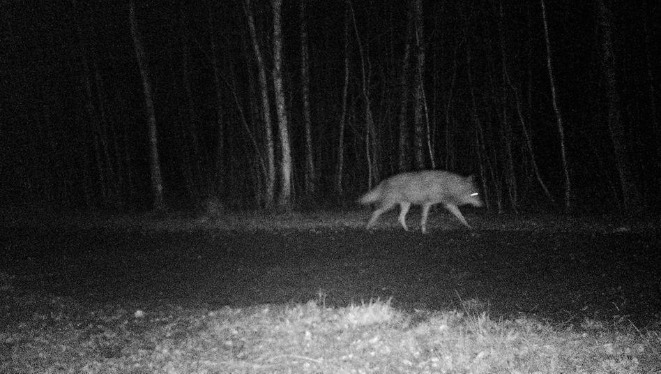 Wolf im November 2018
